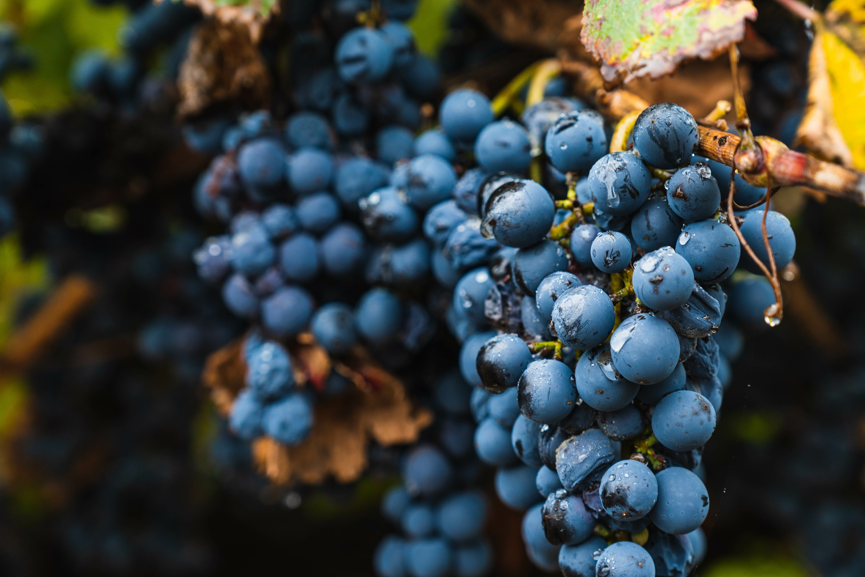 Quels effets des pluies sur le raisin ?
