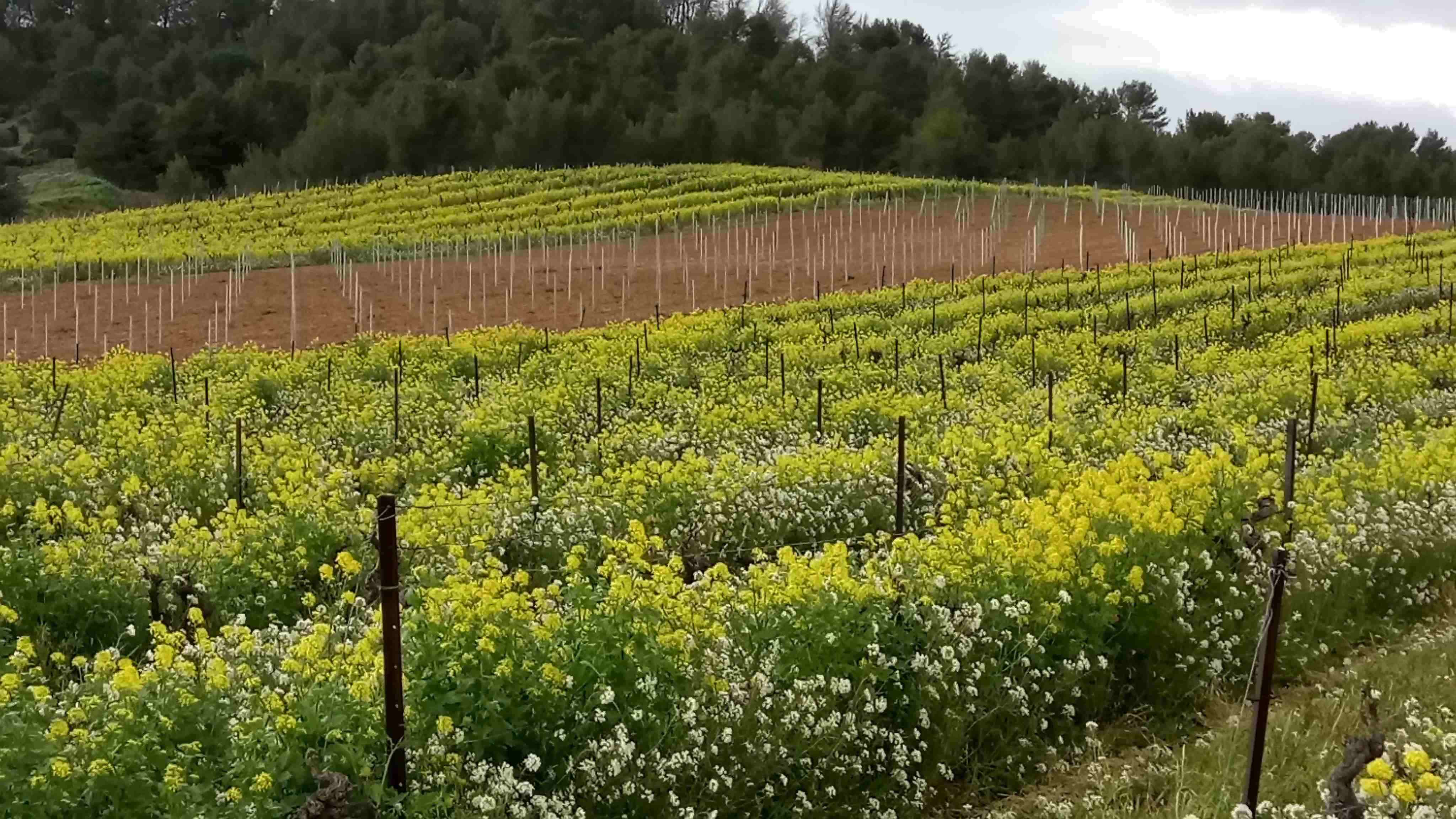 Couvrir son sol en viticulture, alternative aux herbicides