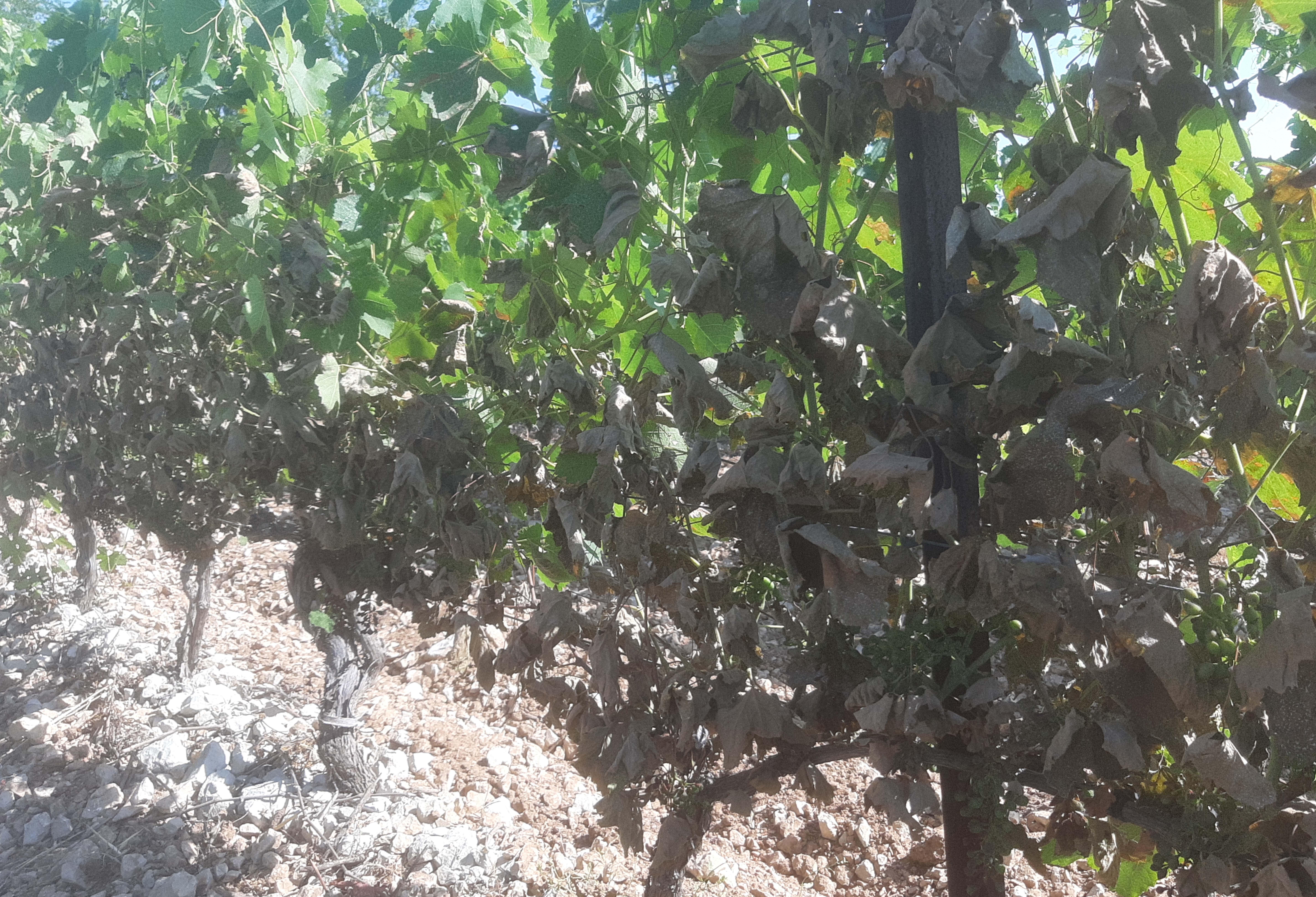 Conséquences des incendies de forêts sur la vigne