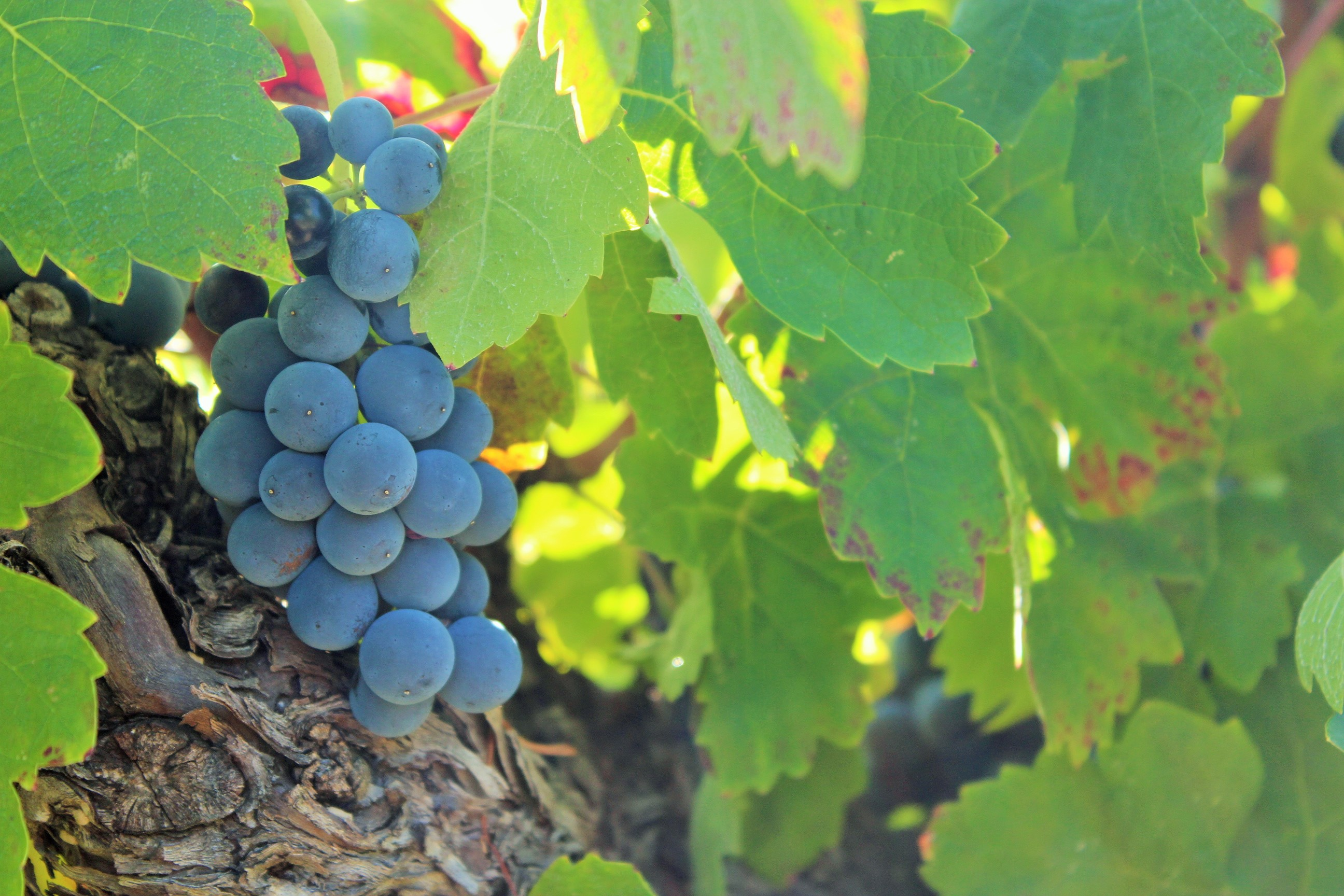Quels critères pour caractériser la maturation des raisins destinés aux rouges ?