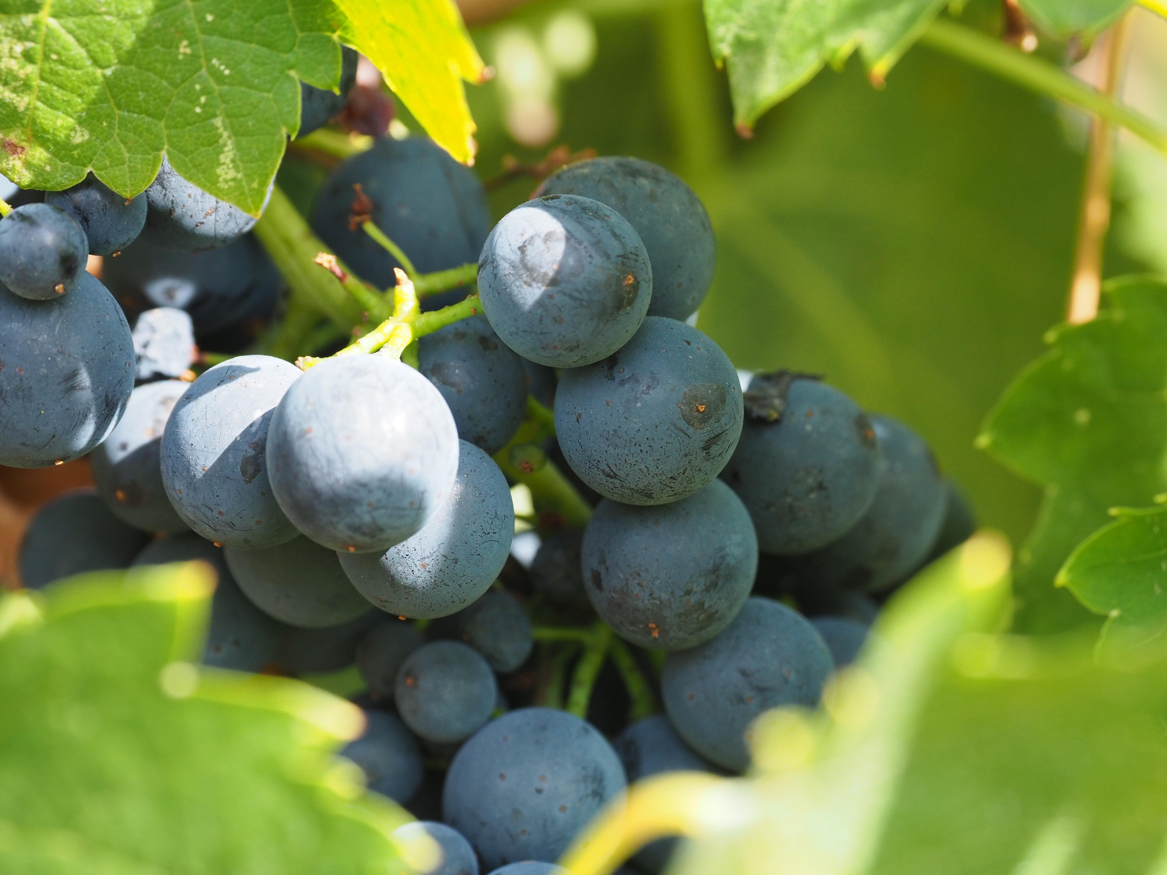 L'acide gluconique dévoile l'histoire sanitaire de vos raisins