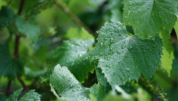 Quel impact des pluies ?