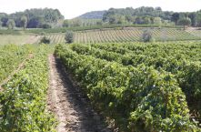 viticultural monitoring, vineyard expertise, vine consultancy – Groupe ICV