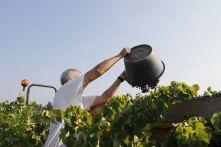 Conseil viticole vendanges, expertise raisins – Groupe ICV