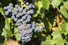 Analyses des raisins Groupe ICV
