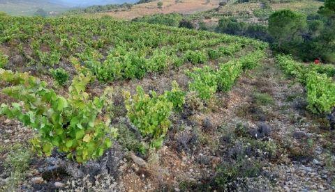 Comment préparer la mise en réserve des vignes après la vendange ?
