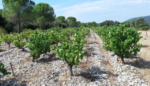 L'essentiel des vendanges dans l'Hérault au 12 août
