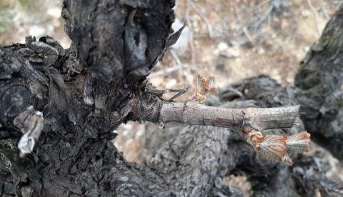 ICV Gard : note viticole sur le gel