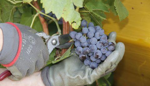 Analyses de maturité sur raisins