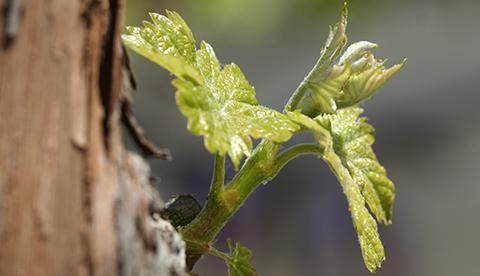 En avril ne découvre pas la vigne d'un fil !