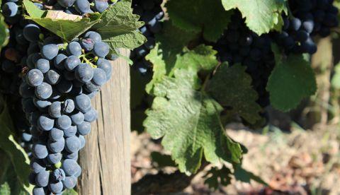 Millésime 2019 dans l'Aude : le point dans les vignes