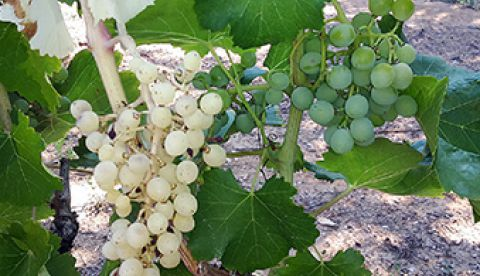 déficience chlorophyllienne sur vigne