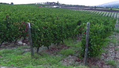 Comment maintenir un feuillage fonctionnel de la vigne après les vendanges ?