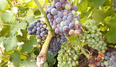 Point viticole dans le Gard au 4 août