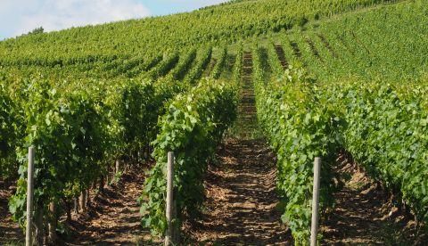 Vignoble Gardois : point de situation au 1er juillet 2021