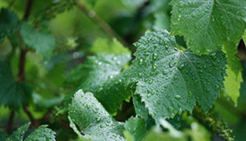 pluie avant vendanges