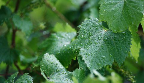 Provence : la pluie va-t-elle marquer le tournant des vendanges ?