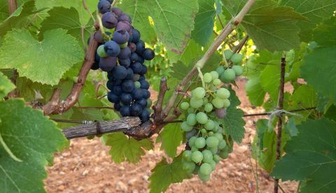 Point vignoble dans l'Hérault et préparation des vendanges dans les vignes gelées