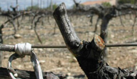 La vigne très en avance