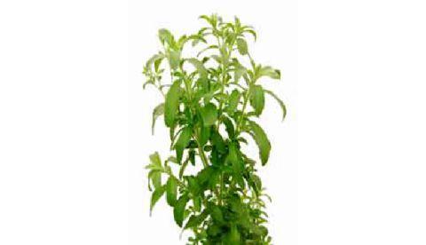 Stevia en oenologie