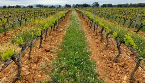 L'état du vignoble provençal début avril