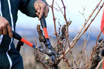 Quels choix pour tailler la vigne ?