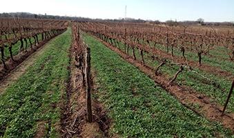 vigne enherbée par semis